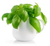 Fresh leaves basil in white vase Royalty Free Stock Image