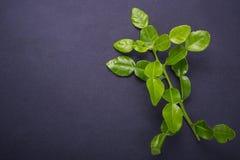 Fresh leaves of Bergamot tree or kaffir lime leaves on black sto. Ne table background. Top view stock image
