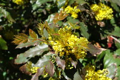 Fresh leaves and blossom of Mahonia aquifolium. In spring royalty free stock image