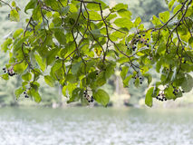 Fresh Leaves on Branch Stock Image