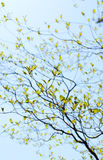 Fresh leaves and branches of dogwood (Cornus florida) Stock Photography