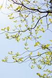 Fresh leaves and branches of dogwood (Cornus florida) and sunlight Stock Photo