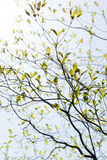 Fresh leaves and branches of dogwood and sunshine Royalty Free Stock Photo