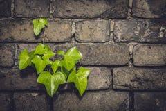 Fresh leaves brickwall Stock Images