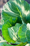 Fresh Leaves of Cabbage Stock Photos