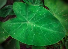 Green colocasia leaf with raindrops stock images