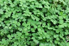 Fresh leaves of clover Stock Photo