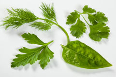Fresh leaves of a coriander Royalty Free Stock Photo