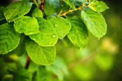 Fresh dew drops on a green leaf Stock Image