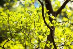 Fresh leaves of dogwood (Cornus florida) Royalty Free Stock Images