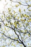 Fresh leaves of dogwood (Cornus florida) and the light Royalty Free Stock Photography