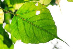 Fresh leaves of Ficus religiosa Royalty Free Stock Images
