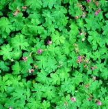 Fresh leaves and geranium. Color royalty free stock images