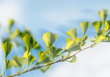 Fresh Leaves of Ginkgo-Tree. In sunlight Stock Images