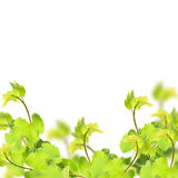 Fresh leaves of grape on white background Stock Photography