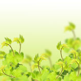 Fresh leaves of grape on white background Royalty Free Stock Photos