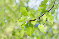 Fresh leaves on green background. Poplar tree branch macro view. Spring time concept, sunny day weather. Stock Photos