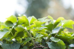 Fresh leaves. Fresh green leaves in the forest Stock Images