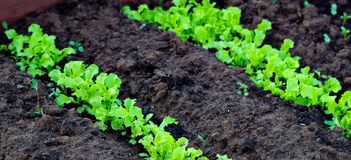 Fresh leaves of green lettuce salad growing in soil in garden. Growing organic vegetables stock photo