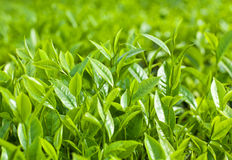Fresh leaves of green tea Royalty Free Stock Images