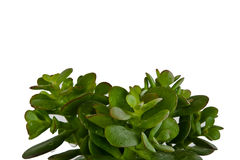 Fresh leaves of indoor suculent plant Royalty Free Stock Photos