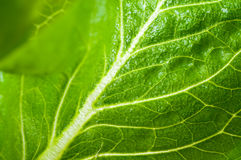 Fresh leaves of the lettuce Royalty Free Stock Photo