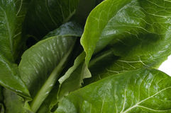 Fresh leaves of the lettuce Royalty Free Stock Image