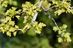 Fresh leaves with lichen on the branch. Green background, crisp leaves in tranquil fresh air royalty free stock images