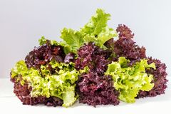 Fresh leaves of Lollo Rosso and Green lettuce. Fresh healthy yummy organic leaves of Lollo Rosso or coral lettuce and Green Frisee lettuce. Light background Royalty Free Stock Photos