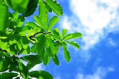 Fresh leaves of magnolia Stock Photos
