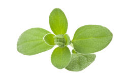 Fresh leaves of marjoram Stock Image