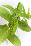 Fresh leaves mint Royalty Free Stock Photo