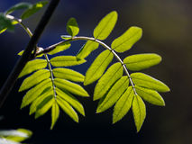 Fresh leaves of a mountain ash Royalty Free Stock Photos