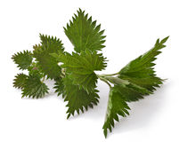 Fresh leaves nettle Stock Photo