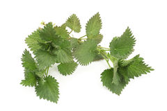 Fresh leaves of nettle stock photography