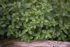 Origanum majorana close up. Fresh leaves of Origanum majorana herb royalty free stock photos