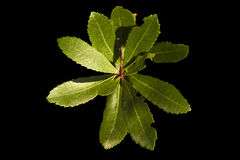 Fresh leaves over black background Royalty Free Stock Images