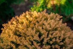 Fresh leaves pine, yellow, Royalty Free Stock Photo