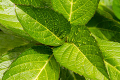Fresh leaves with rain drops Stock Image