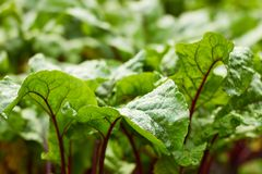 Fresh leaves of red beet plant on bed after the rain royalty free stock images