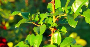 Fresh leaves of red and green color on top of rose twig stock video