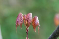 Leaves of a red maple tree Acer rubrum. Fresh leaves of a red maple tree Acer rubrum royalty free stock photo