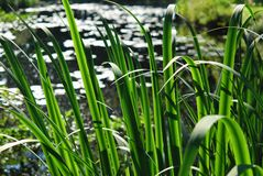 Rush Leaves. Fresh leaves of rush on sunny pond background Royalty Free Stock Photography