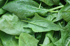 Fresh leaves spinach with water drops Stock Image