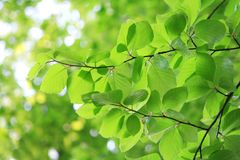 Fresh leaves in spring Stock Photo