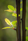 Fresh leaves in spring. The new crabapple leaves in spring showed fresh green color against sunlight Stock Image