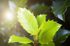Fresh leaves and sun light Stock Photos