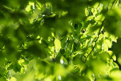 Fresh leaves and sun rays Royalty Free Stock Photography