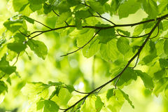 Fresh leaves and sun rays Stock Image