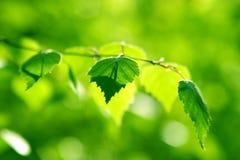 Fresh  leaves  in the sunlight. Fresh  leaves of birch in the sunlight Stock Image